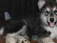 AKC Sable Male Alaskan malamute. We are a small family