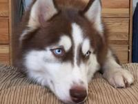 Gorgeous , blue eyes, Malamute/ Siberian Huskies! This