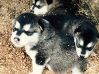 For sale full blooded Alaskan Malamutes. Will be ready