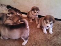For Sale: We have 4 male and 5 female Alaskan Malamute