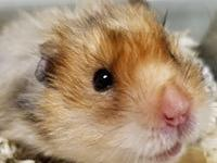 Albert is a 2 year old teddy bear hamster and was saved