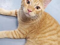 Albert is a orange and white male Domestic Shorthair
