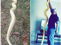 11ft female Albino Burmese Python with 75 gallon tank