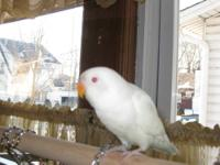 Albino Fisher Lovebird 3 months old comes with bird