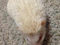 1 year old hedgehog albino colored. She comes with her