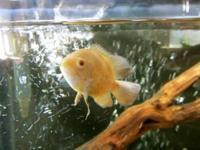 Albino Tiger Oscar fish (Albino Oscar x Tiger Oscar)