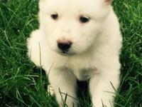 Hello I have a purebred Siberian all white husky pup