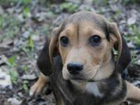 Meet Alec! Part of the Beautiful Beagles litter, Alec