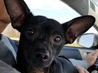 Alex's story Alex is a 3 year old Chihuahua - he was