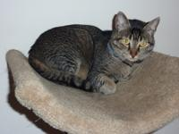Alex is a 1 1/2 yo abbyssinian colored male cat.  He is