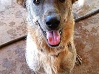 Alexis's story ALEXIS Breed: German Shepherd Dog & Lab