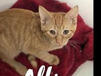 My story ALFIE is a young, playful orange tabby. He's