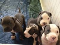 PRICE REDUCTION... 350 $ FOR THE LAST PUPPY 100 percent