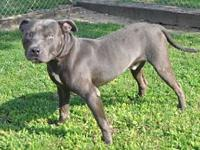 Ali's story Ali is a handsome grey pittie. He is well
