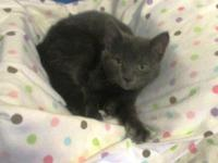 Alice is a gorgeous gray purr baby about 10weeks old.