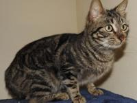 Alisha is a large domestic short hair female cat, tabby
