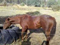 8 yr old guarter horse mare for sale! This mare knows