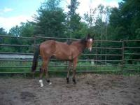 Beautiful yearling gelding, bay, pretty head, big hip,