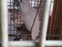 i have cockatiels for sale buy 1 at 40.00 and i will