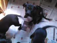 3 Pitbull pups. Males. All black. 3 Months. Shots and