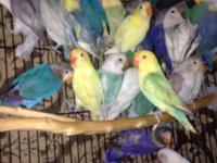 I have all kind of ring eyes lovebird for sale if you r