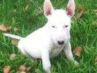 Adorable All White female puppy!!! Pick of the