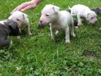 We are looking for new homes for two all white pitbull