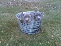 I have 2 adorable blue pitbull puppies for sale 1 male
