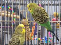 We have no history on Allan, a green male budgie that