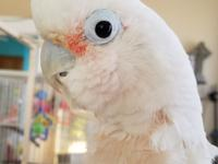 Allen is an adult male Goffin Cockatoo. He has a great