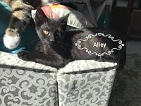 Alley's story Alley: 12 weeks old Female Domestic Short