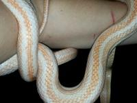 Alley the corn snake got his name because he was found