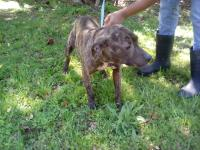 Sweet female bulldog/hound mix about 6-9 months old and
