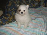 Almost all white Male Pomeranian puppy. He is up to