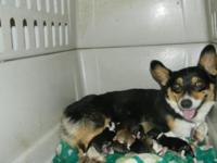 We have 8 lovable mostly Dorgi Puppies. They were born