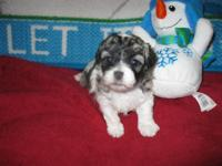 Cute little Shih/Poo two little boys born and raised in