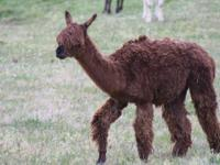alpaca for sale and emu for meat please call allen at