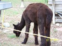 To all spinners I have 5 Alpacas recently sheared (1
