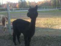 We are fostering a herd of alpacas and are looking for