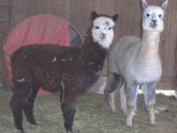What a DEAL! Eight ARI registered alpacas for the price