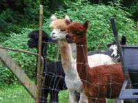 Start your own Alpaca Fiber Farm Males starting at $200