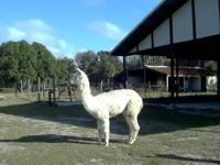 16 alpacas for sale. 10 females, 6 males all or part.