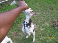 Alpine - Goat - Medium - Adult - Male - Barnyard