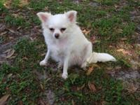 I have two young adult longcoat Chihuahuas looking for