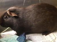 ADOPT ALVIN!!HOUSING: They might be small, but guinea