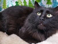 Amaka male approx. 1 yr old Maine Coon mix...trills and