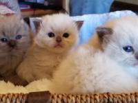 Amare Ragdoll Cattery announces the birth of 4 litters