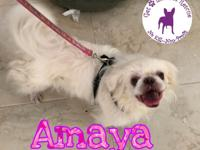 Amaya is a bouncy, lovable, 6 year old, 13 pound,