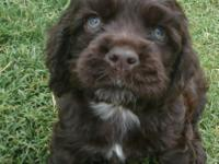 The Cutest Ever! AKC Cocker Spaniel Puppies! Champion