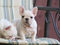 We have amazing show quality frenchie babies available!